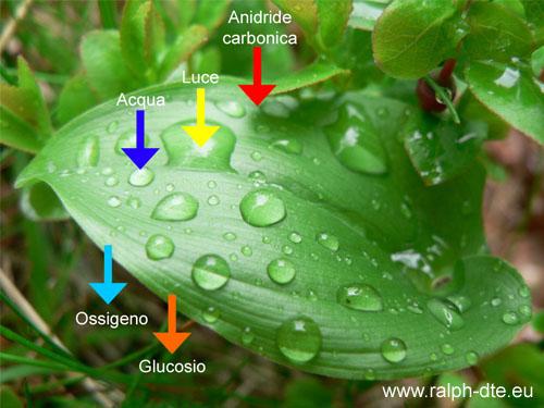 Schema semplificato della fotosintesi clorofilliana